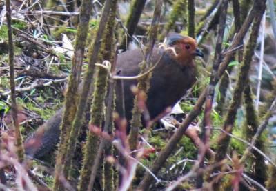 Blood-Pheasant-female