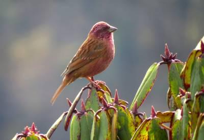 b2ap3_thumbnail_12.-Pink-browed-Rosefinch-male