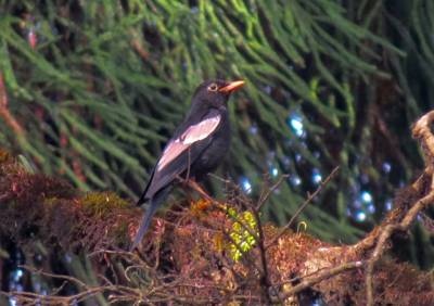 b2ap3_thumbnail_18.-Grey-winged-Blackbird