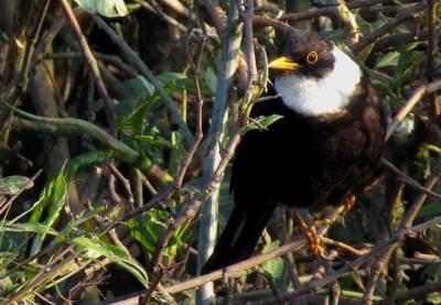 White-collared-Blackbird-male