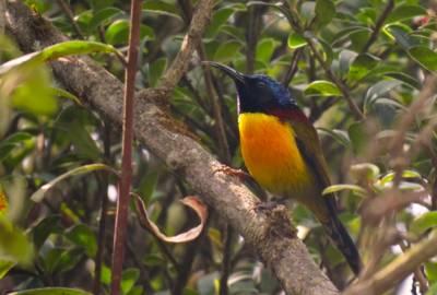 b2ap3_thumbnail_7.-Green-tailed-Sunbird-male (1)