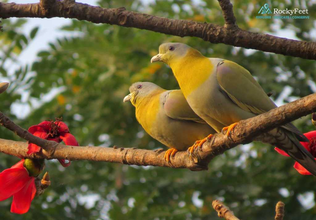A pair of courting Green Pigeons in Spring 2015