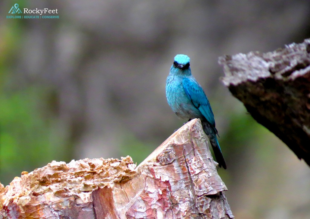 A male Verditer Flycatcher on Day 9, towards the end of our journey.