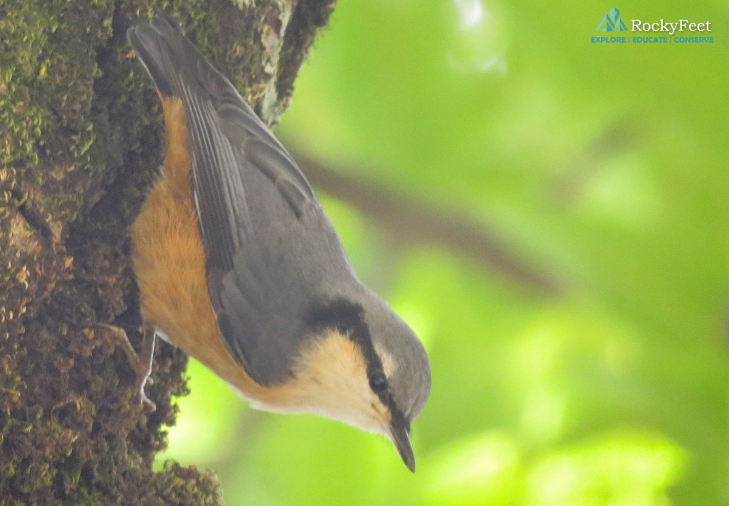 A White-tailed Nuthatch on Day 1.