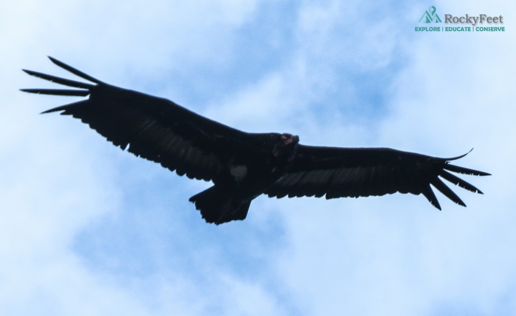 The critically endangered Red-headed Vulture seen on Day 1.