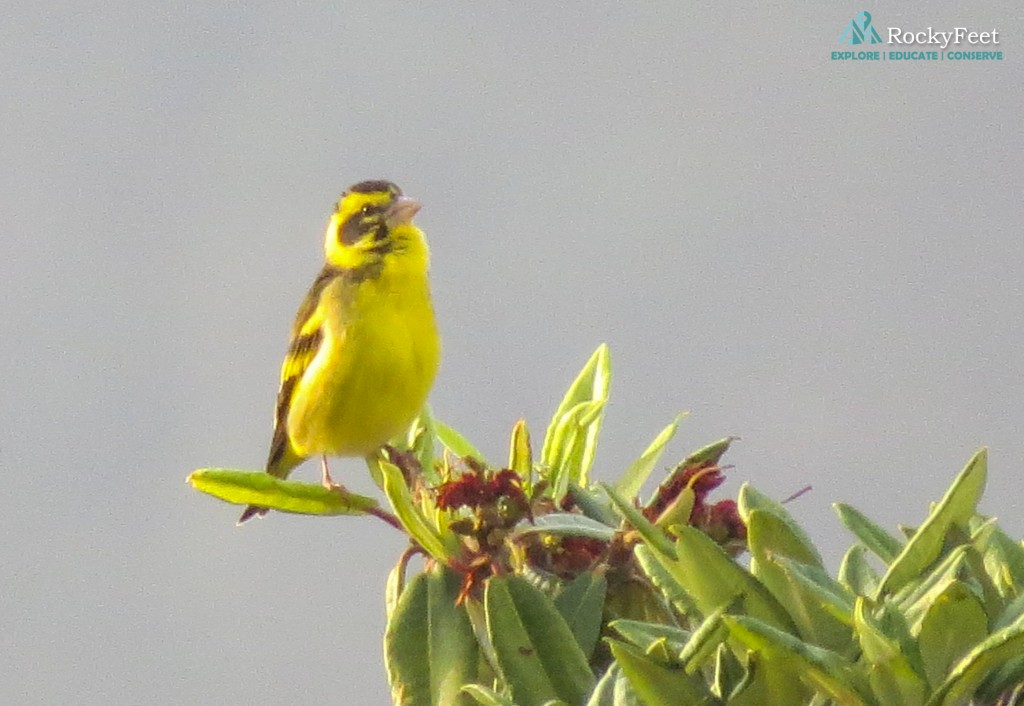 Flocks of Yellow-breasted Greenfinch were seen on Days 1 & 2 @Saniyara Campsite.