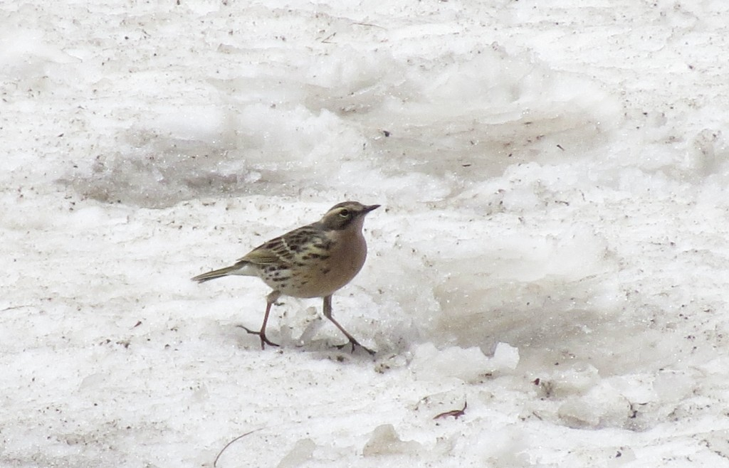 A Rosy Pipit at an altitude of 4300m. Seen on the way to Yeoungbuk Col on Day 7.
