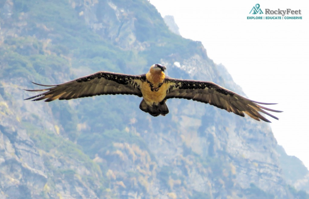The Skylord!! A Lammergeier or Bearded Vulture soaring over its patch in Mandani Valley. Photo taken on Day 6.
