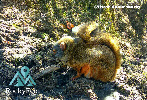 Unidentified flying squirrel species spotted at Sikkim