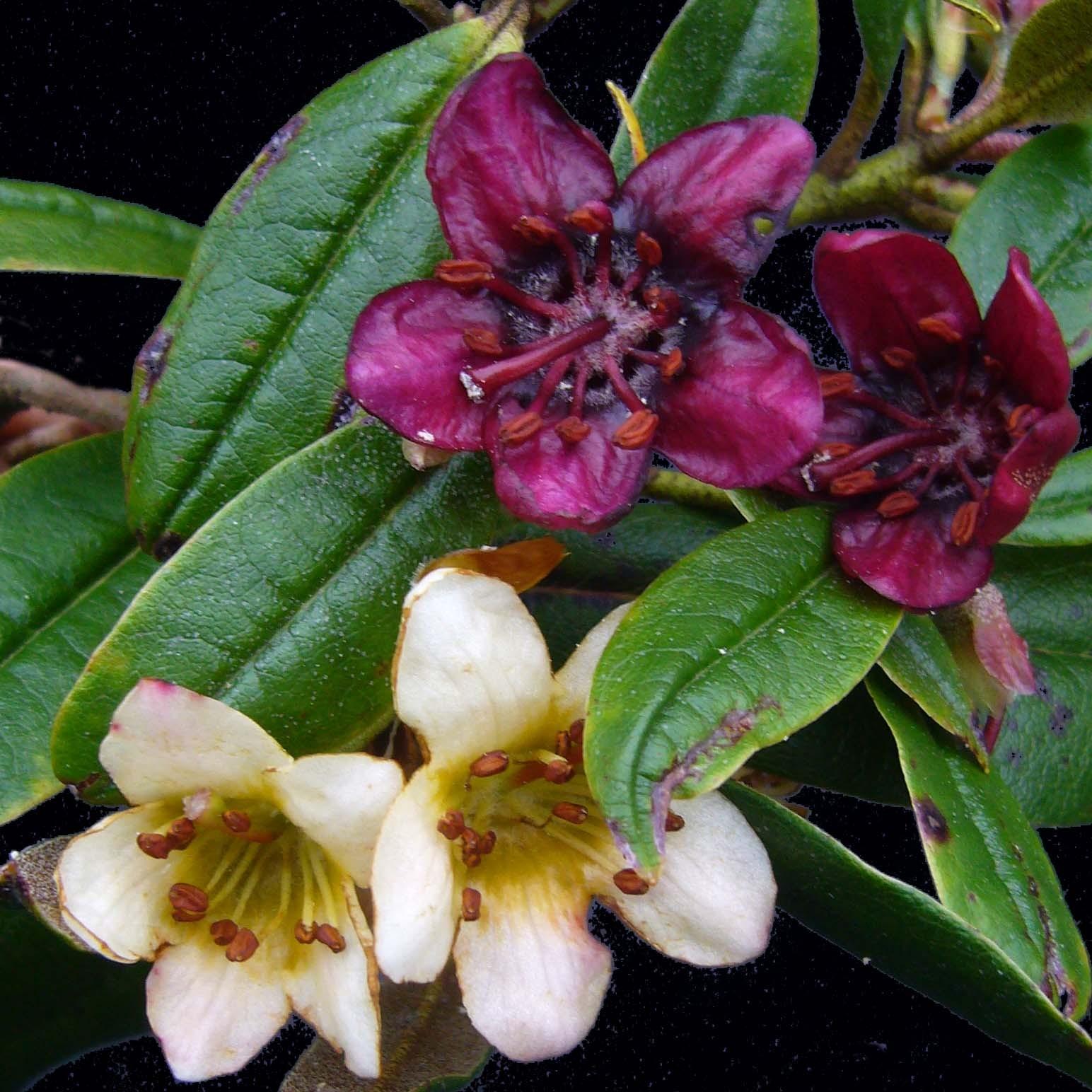 R.Camelliiflorum