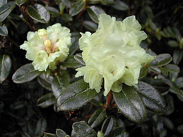 R. anthopogon