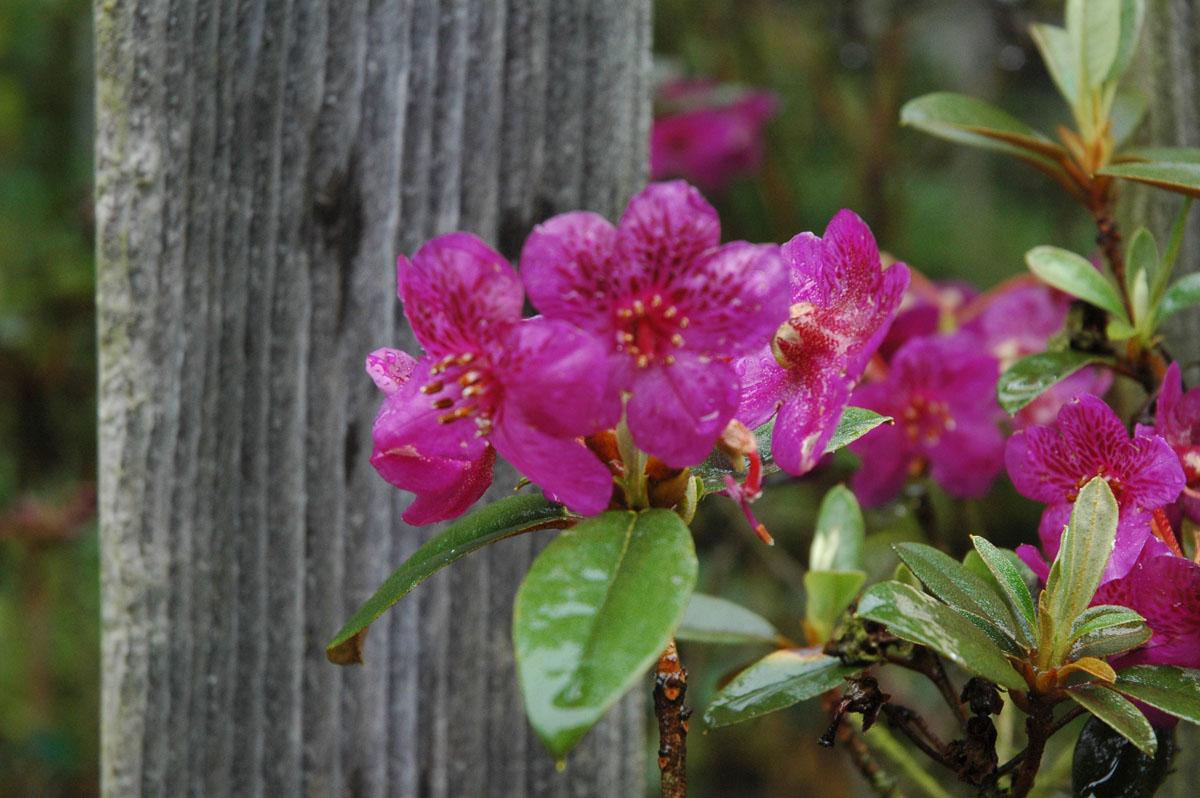Rhododendron baileyi