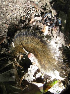 Tail of an Irawaddy squirrel, probably preyed on by some predator