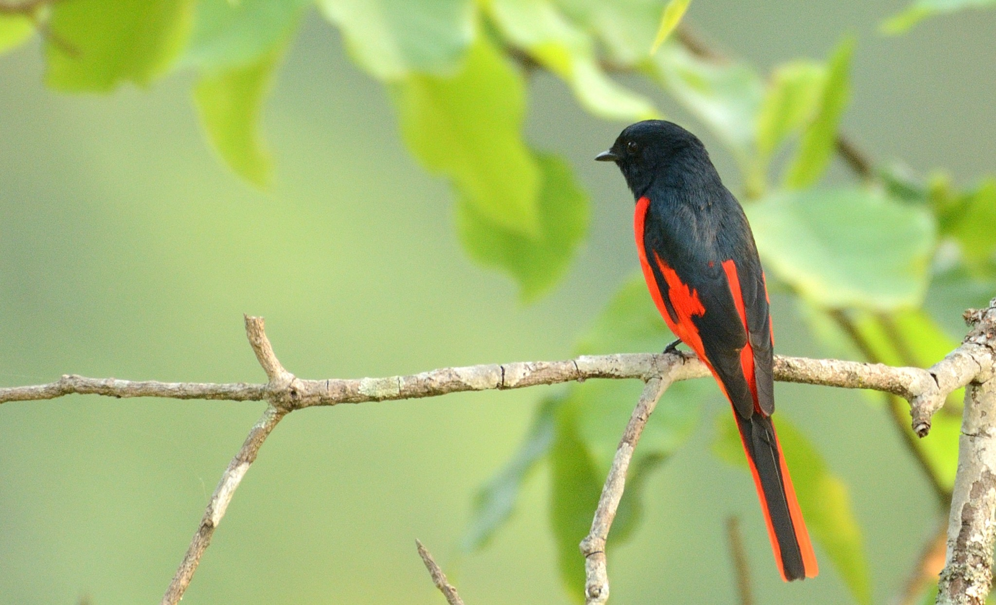 Scarlet Minivet (Male)