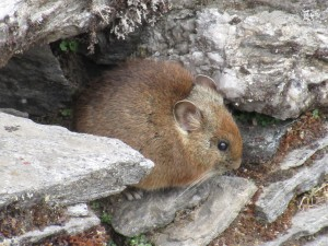 Large eared Pika - a resident , close cousin of rabbit but with shorter ear and no visible tail.