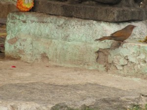 Streaked Laughingthrush, at a Shiva temple below Devria tal