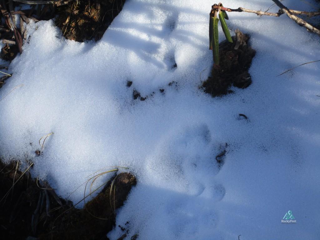Snow Leopard pugmark