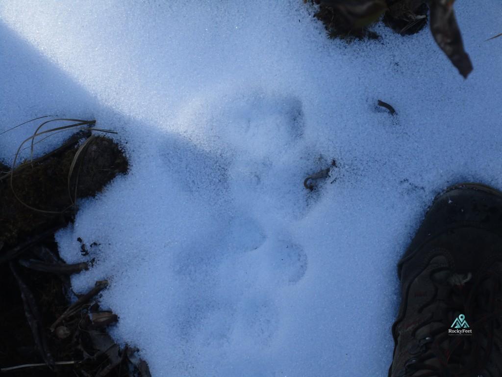 Snow Leopard pugmark 2