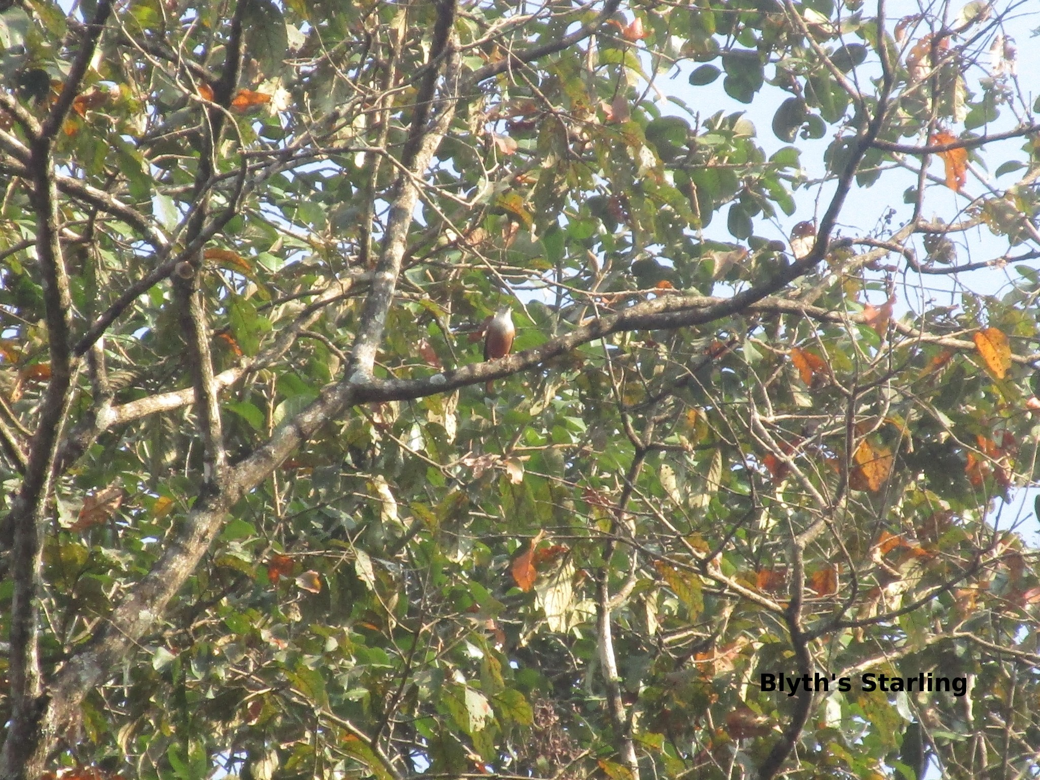 b. starling