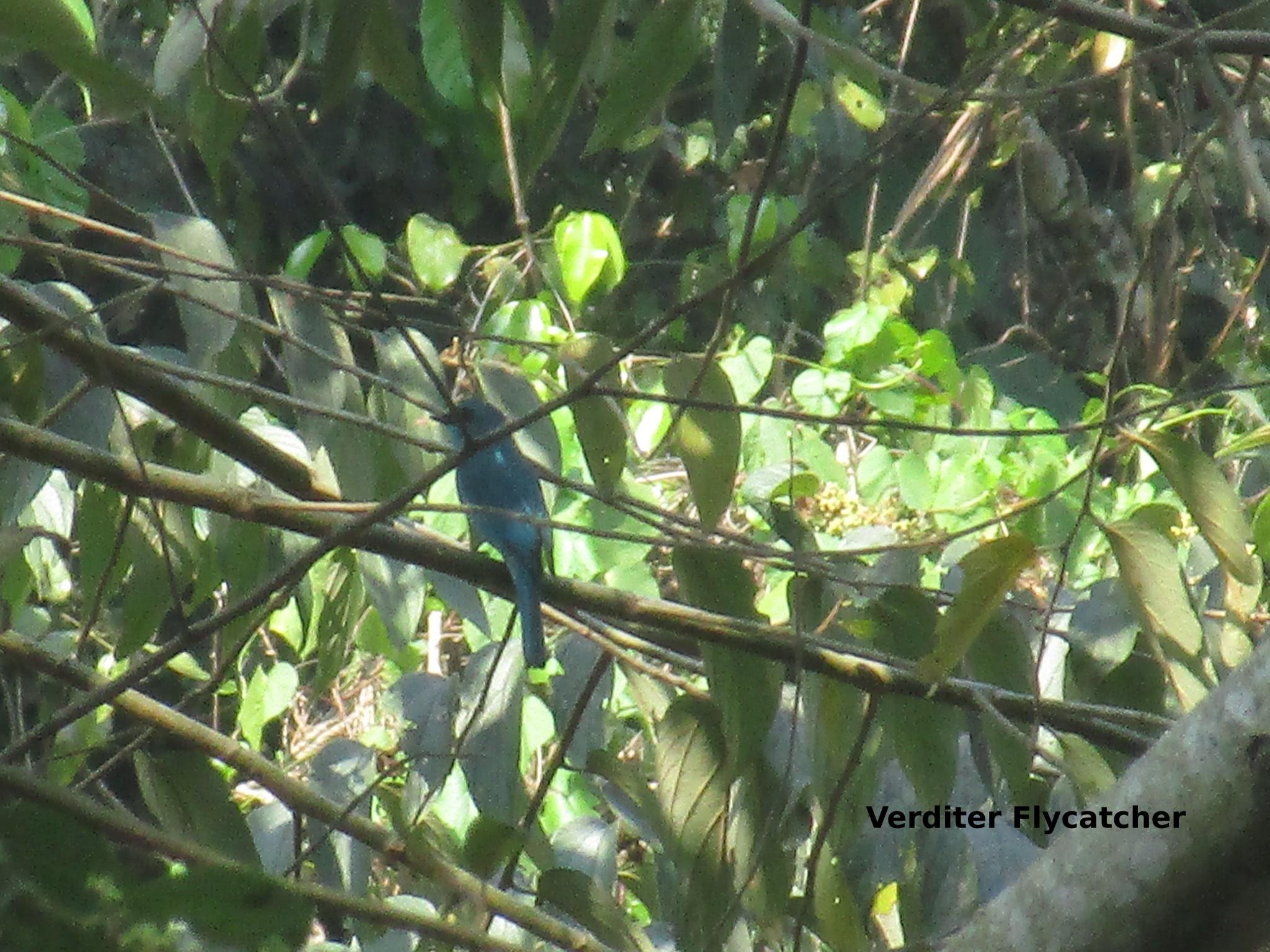 v.flycatcher