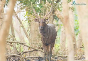 A lone male Sambar peeping through the Crepe-myrtle forests in the central range.