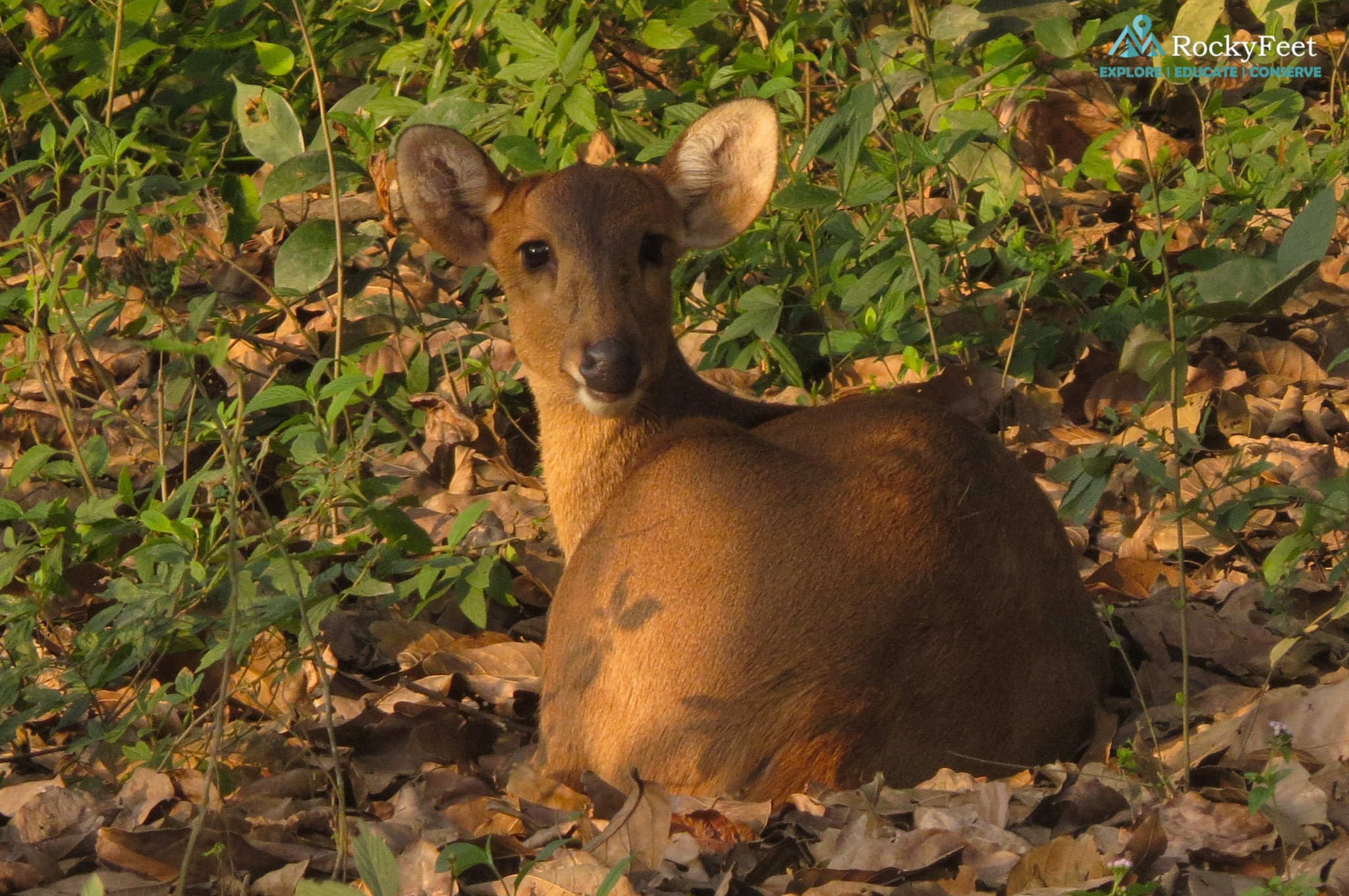 A female Hog deer captured from the back of an elephaqnt in the Western Range - Jan 2018