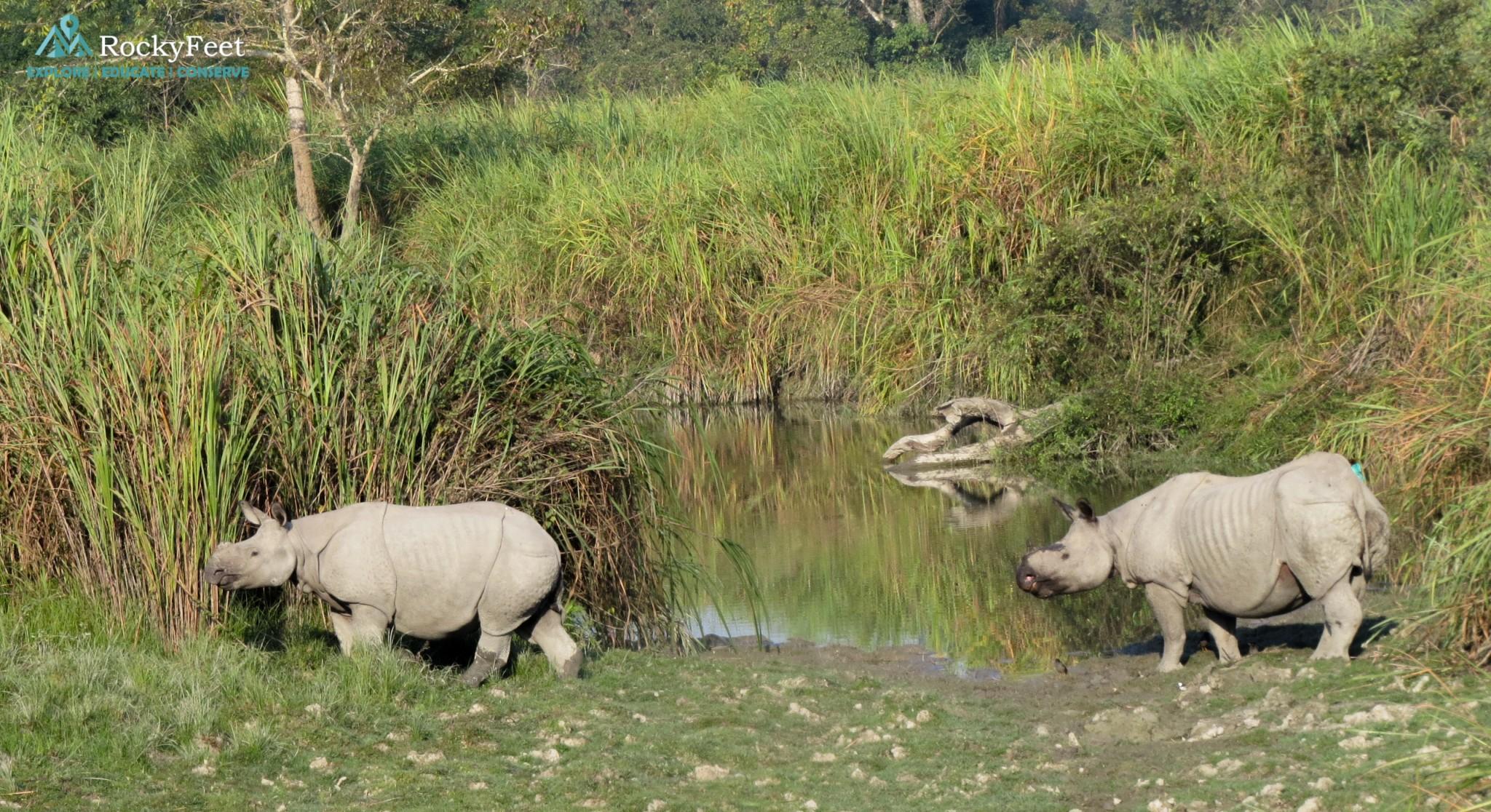 Rhinos grazing in the central range - Jan 2018