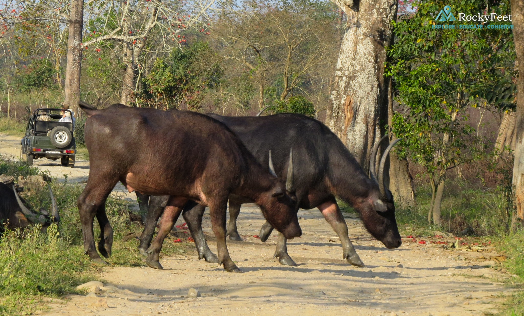 Asiatic water buffalo crossing a safari trail in the central range.