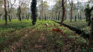 A tea garden at Kohora, Assam (Kaziranga)