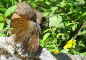 STREAKED LAUGHINGTHRUSH - Extracting oil from the uropygial gland for preening.