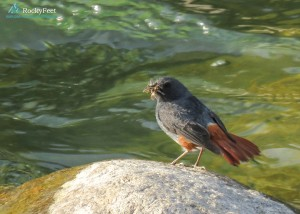 PLUMBEOUS WATER REDSTART (MALE)- Thats quite a mouthful. Does it have chicks to feed?