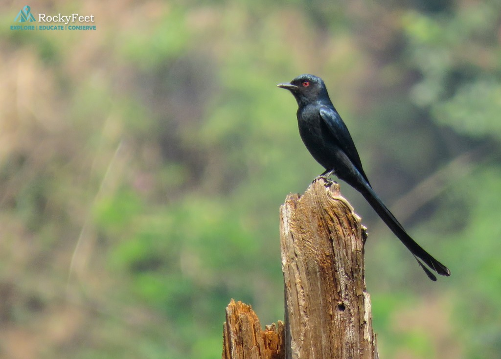 ASHY DRONGO - Their perches are also an identity of the social ladder as they would gang up on the Kestrels, Magpies and Treepies if they got close to their territories. Drongos are top of the food chain and so often the best seats are reserved for them.