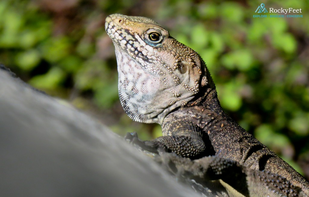 ROCK AGAMA - A very large male.