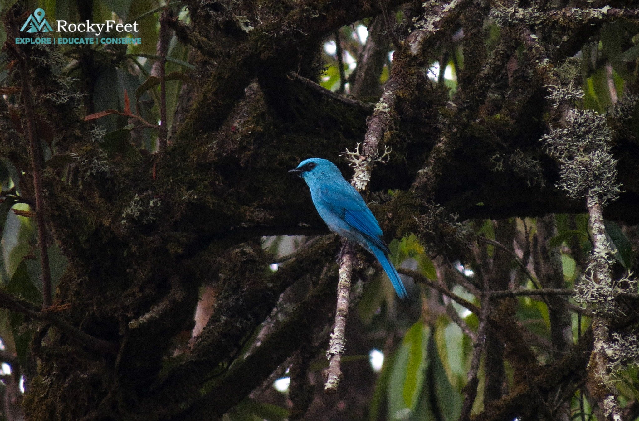 Verditer Flycatcher (male)