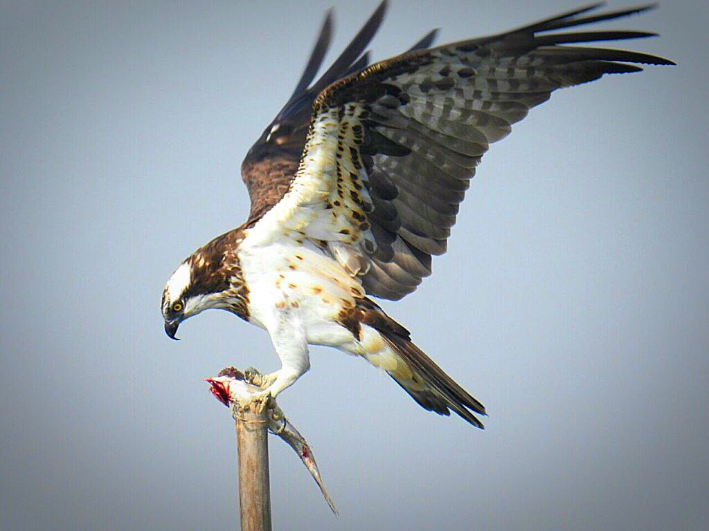 The mighty Osprey provided some of the moments of the day with a partially devoured fish in its talons