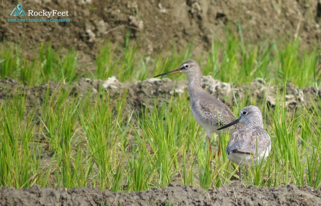 A Spotted Redshank (left) and a Common Greenshank