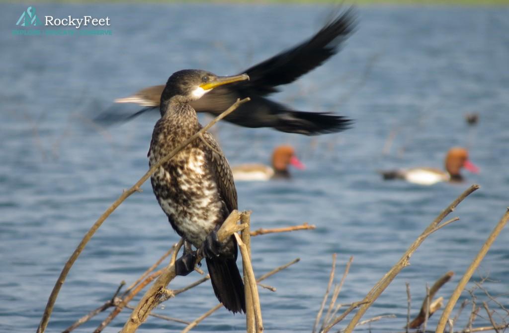 Great Cormorant on perch, Indian Cormorant in flight