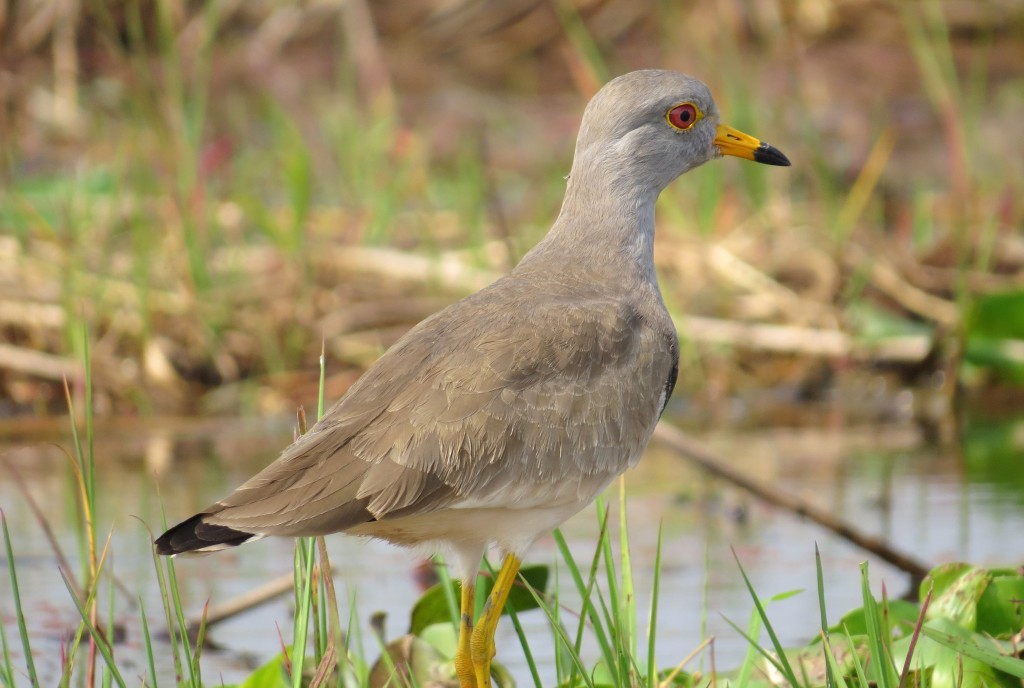 A star of Purbasthali, the Grey-headed Lapwings migrate every year in considerable numbers. Photo taken by Anon Ray.