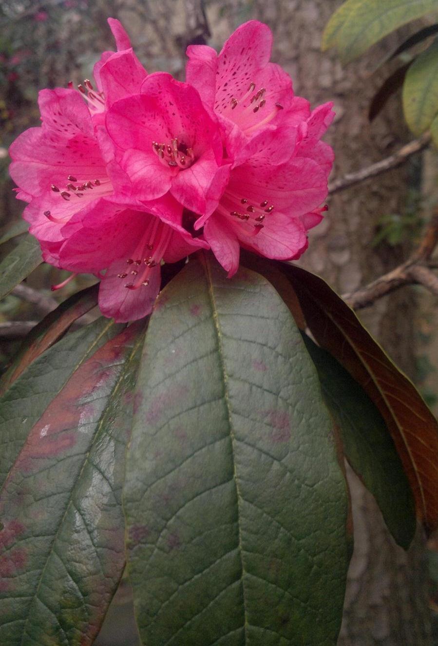Rhododendron arboreum ssp cinnamomeum