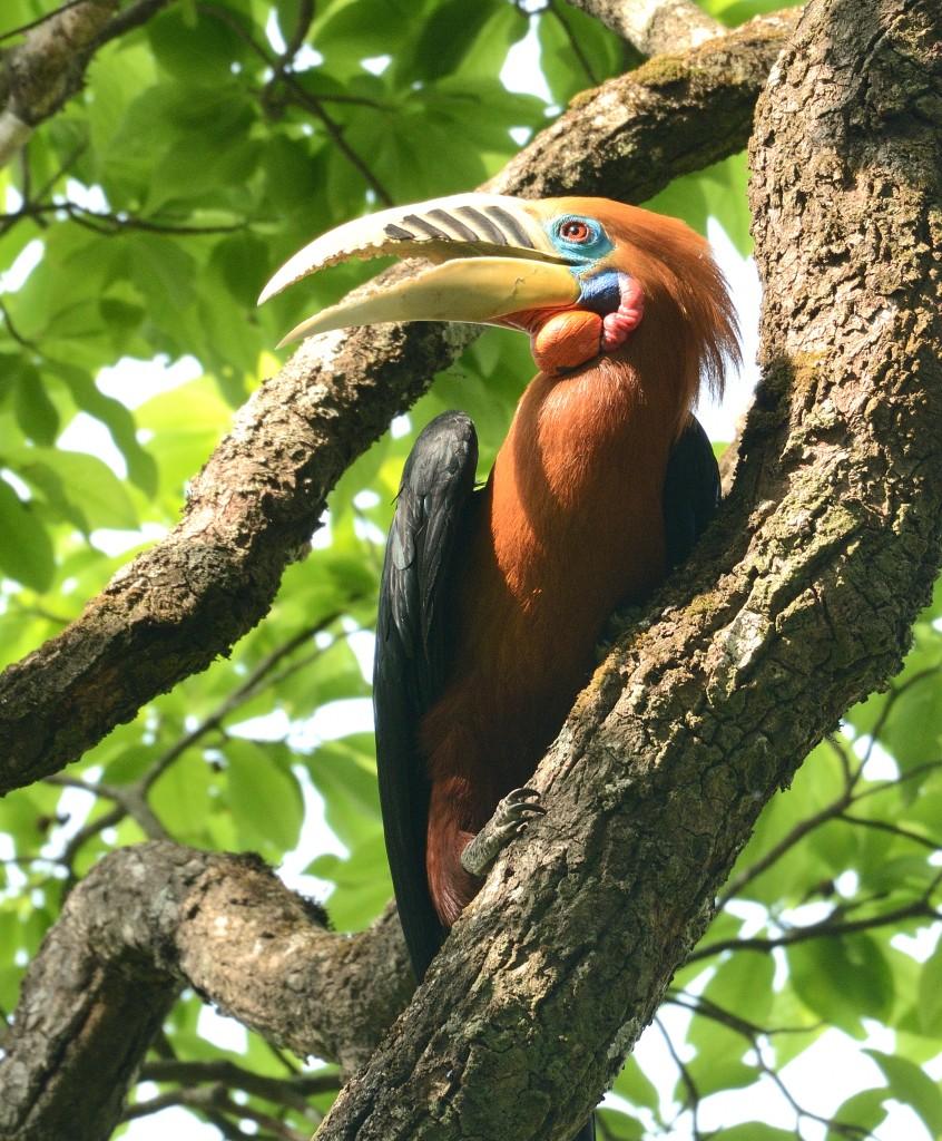 Rufous Necked Hornbill(Male)
