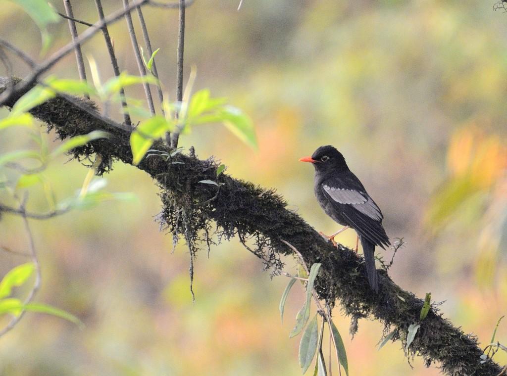Grew Winged Blackbird