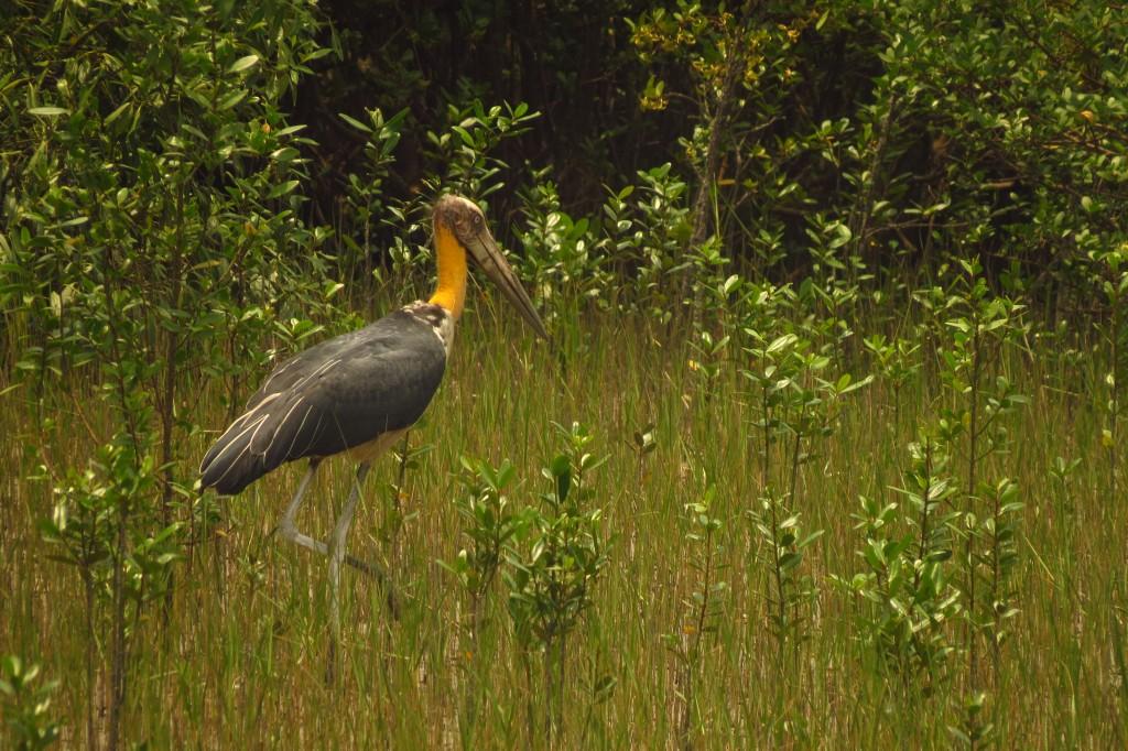 Lesser Adjutant Stork (1)