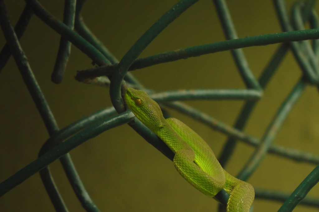 Red-tailed Pit Viper (1)