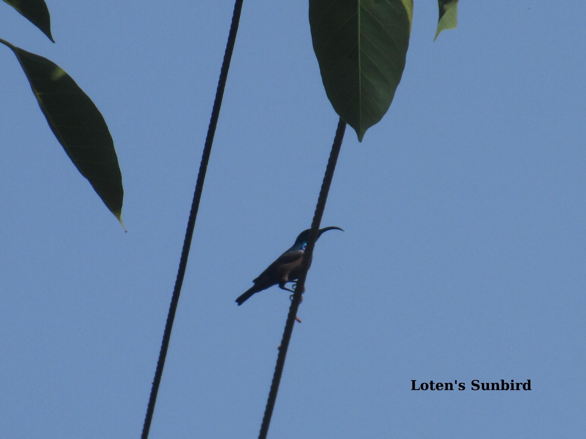 l sunbird