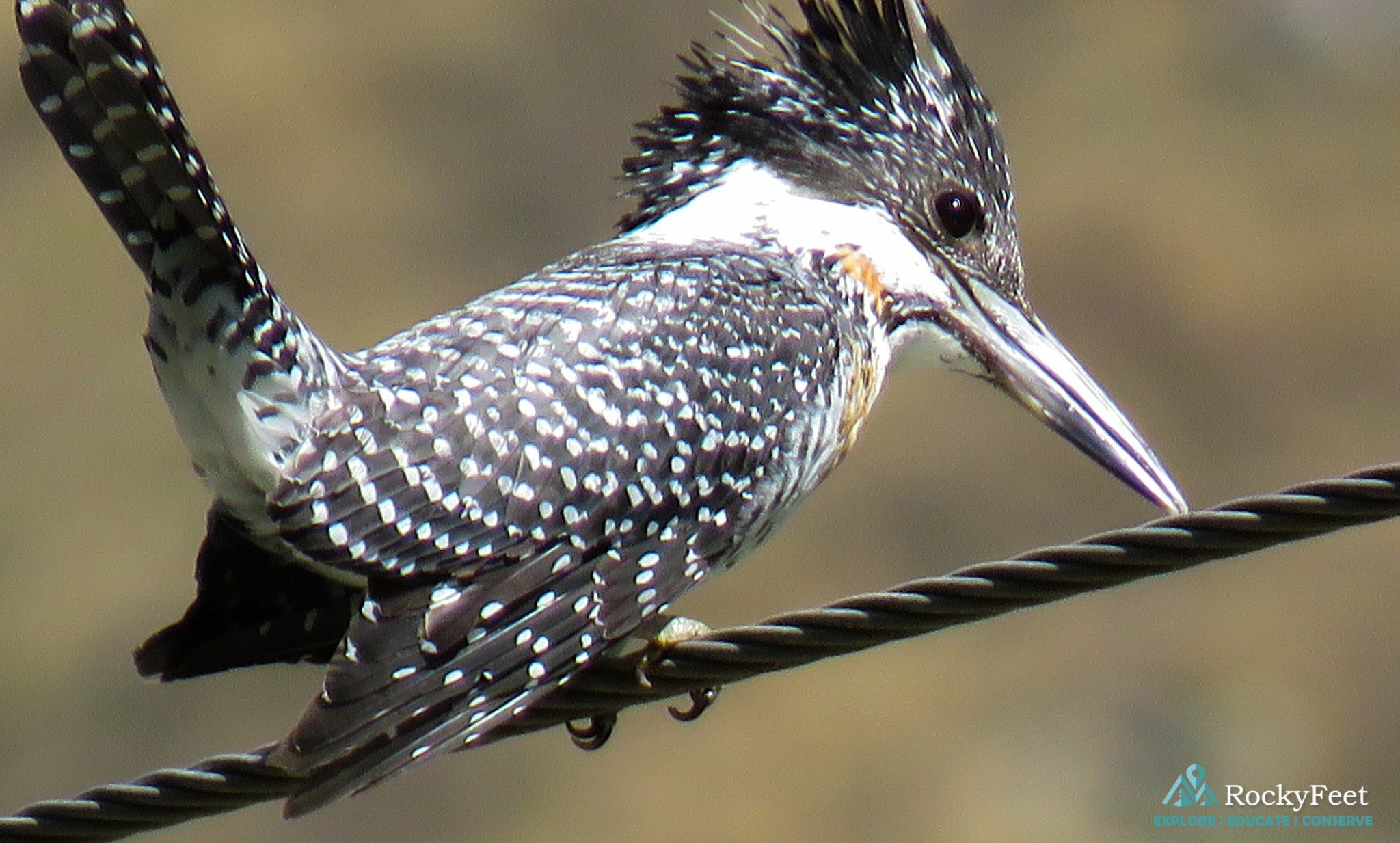 CRESTED KINGFISHER - On the lookout for Trout